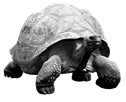 Image result for Tortoise png