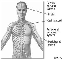 Image result for The nervous system controls the different organs of our body.