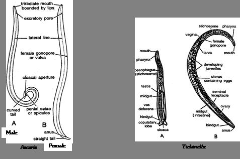 A nemathelminthes beserta contohnya osztályozása Klassifikasi nemathelminthes beserta gambar
